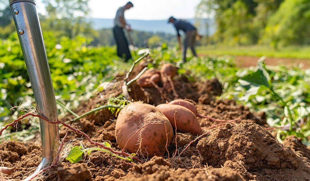 Natural Farm Harvests 4,000 Pounds of Sweet Potatoes Ready for Thanksgiving